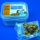 Psilocybe Mexicana 10 grams