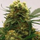 Magic Seeds White Widow cannabis 5 seeds